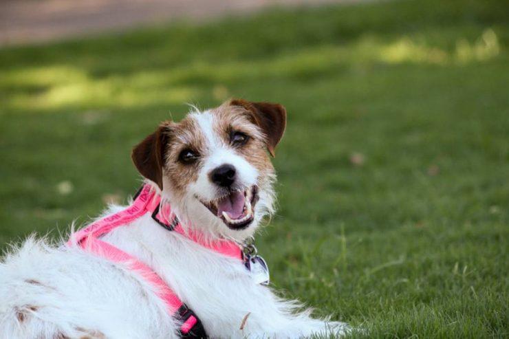 Des harnais pour chien confortables à prix imbattables principale
