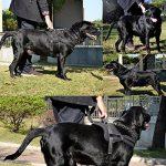 Lifepul(TM) Gilet Chien Harnais réglable sans traction rembourré Ceinture de sécurité confortable pour entraîner/promener les grands chiens – Sans étouffement Sûr Anti-traction de la marque Lifepul TOP 3 image 5 produit