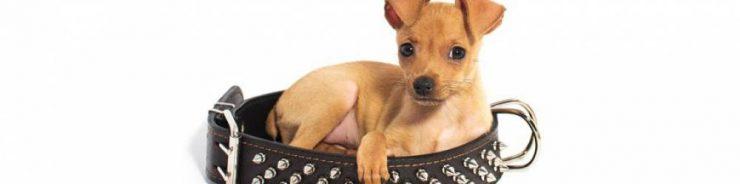 Le collier pour chien, l'accessoire incontournable principale