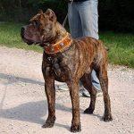 Bestia collier Eros est un veritable collier de chien en cuir, pour les grandes races de chiens: cane corso, Rottweiler, Boxer, Bullmastiff, Dogo, collier de ch TOP 2 image 3 produit