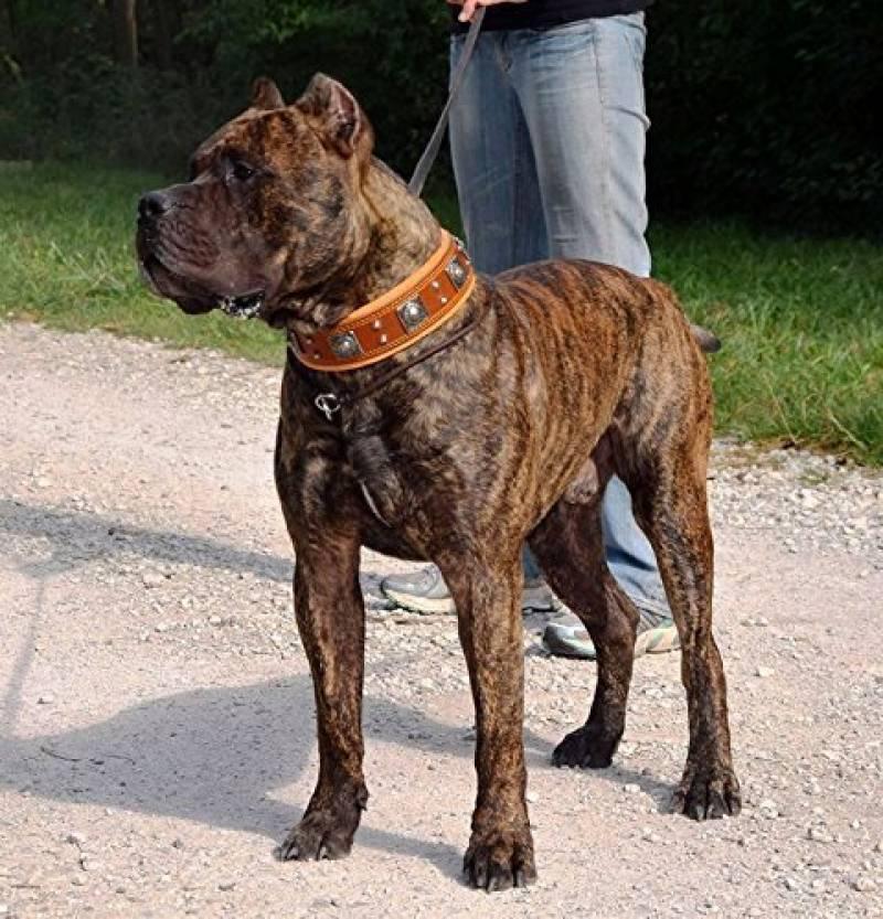 collier pour chien cane corso