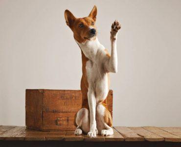 Un collier pour chien en cuir : votre chien aussi veut de l'élégance principale