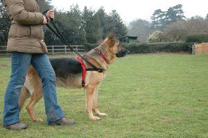 Harnais Halti anti traction pour chien